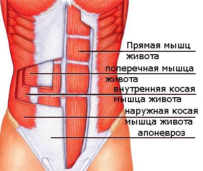 Анатомия косых мышц