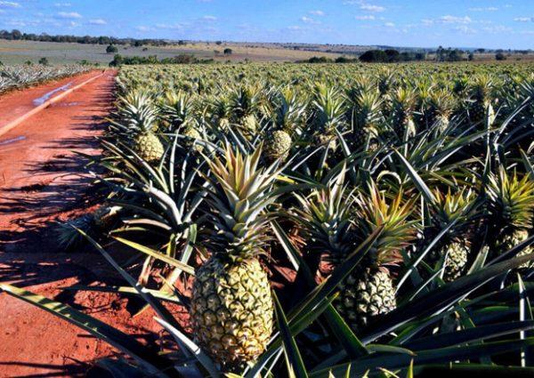 Полезные свойства ананаса, калорийность